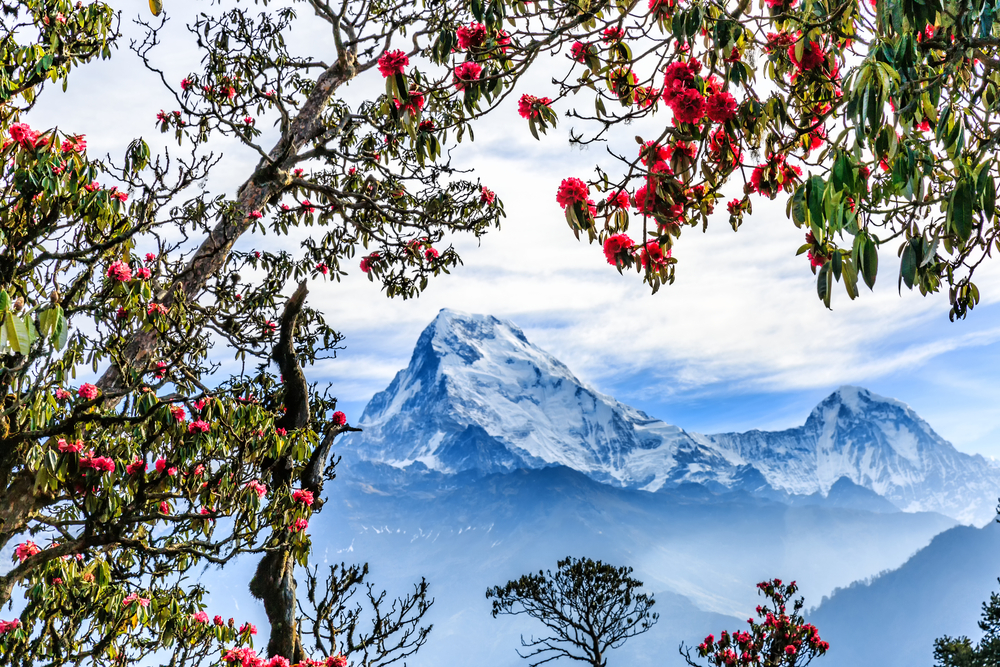 rhododendron-nepal-spring-trekking-in-nepal